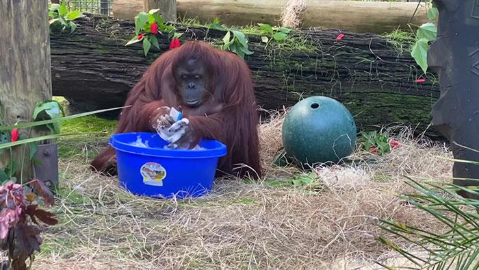 Sandra orángután kezet mos