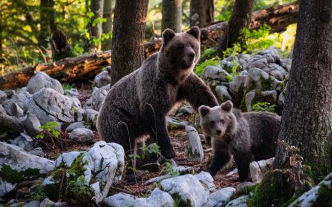 medve és bocsa