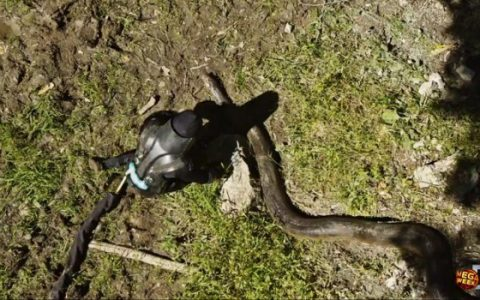 Élve falatta fel magát egy anakondával