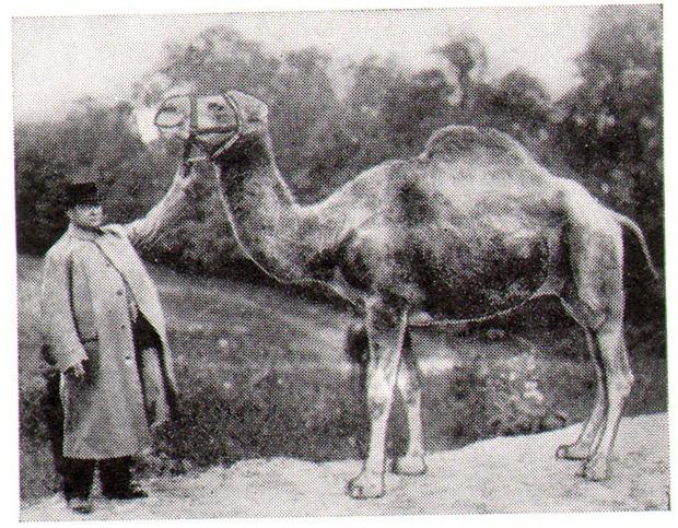 camel_1913 teve logoallat