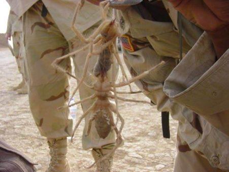 Emberhúsevő óriáspók Irakban